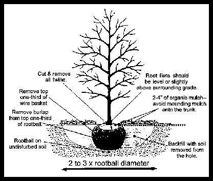 tree planting instructions